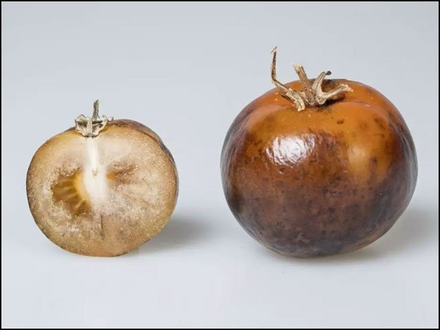 tomatoldopax